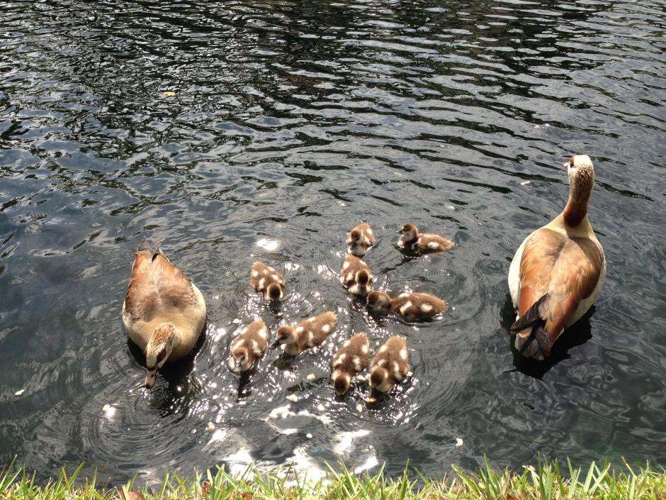 Familia de patos en el lago frente a nuestra casa.